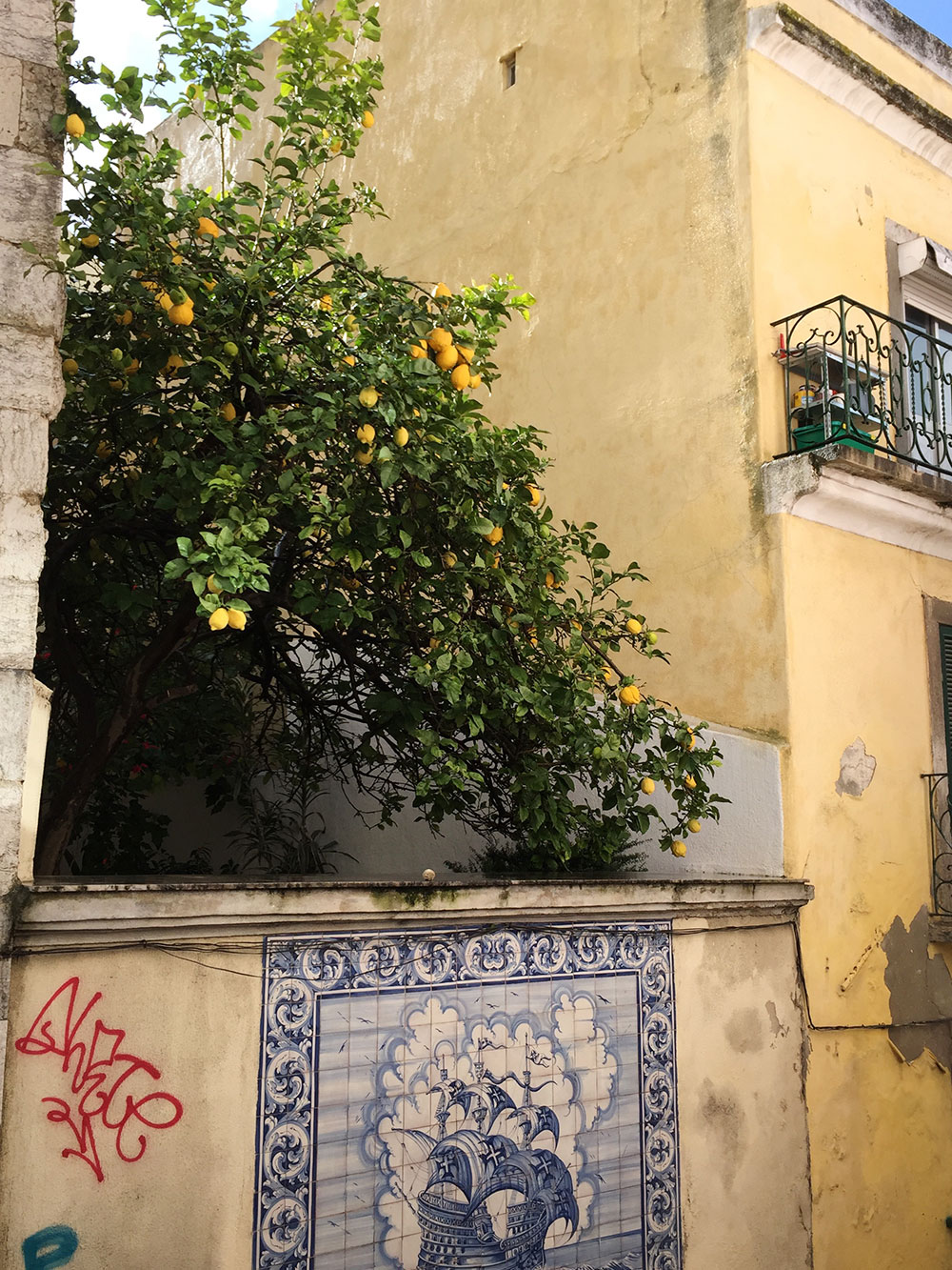 RosyCheeks-Lisbon-lemon-tree
