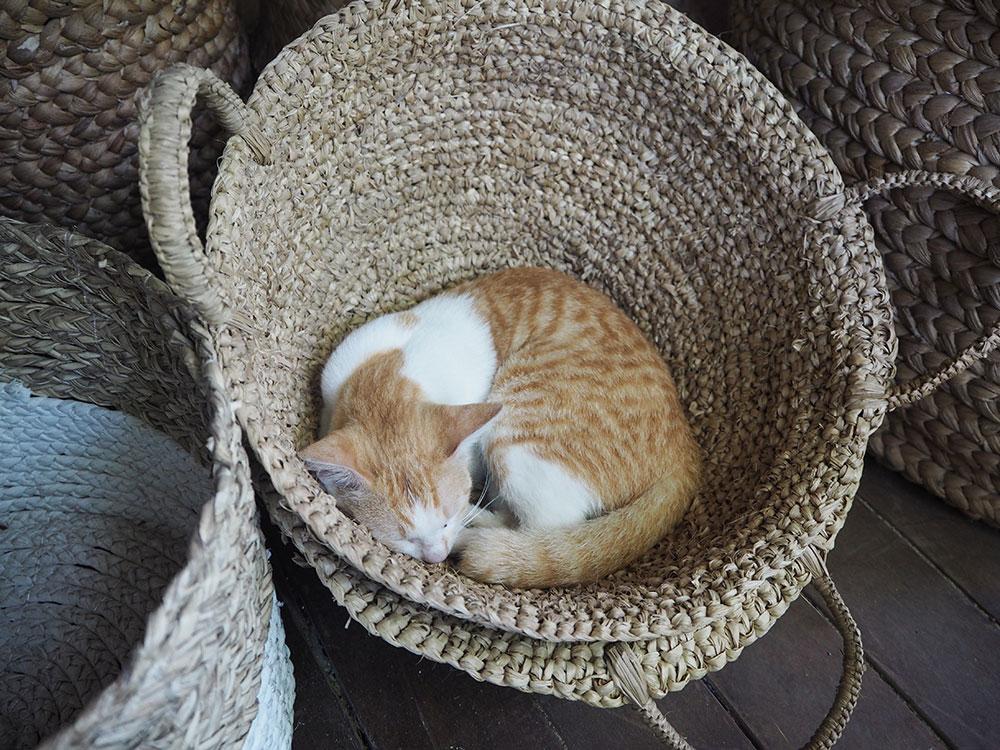 RosyCheeks-Bali-Milu-cat
