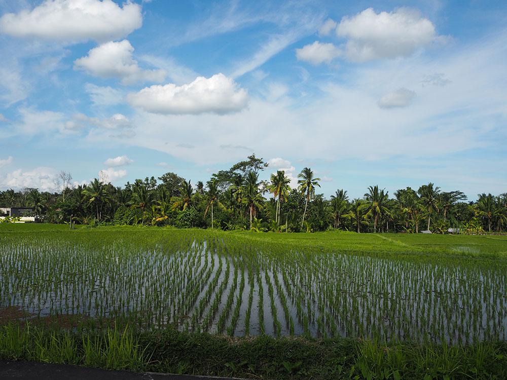 RosyCheeks-Bali-Ubud-Rice-field
