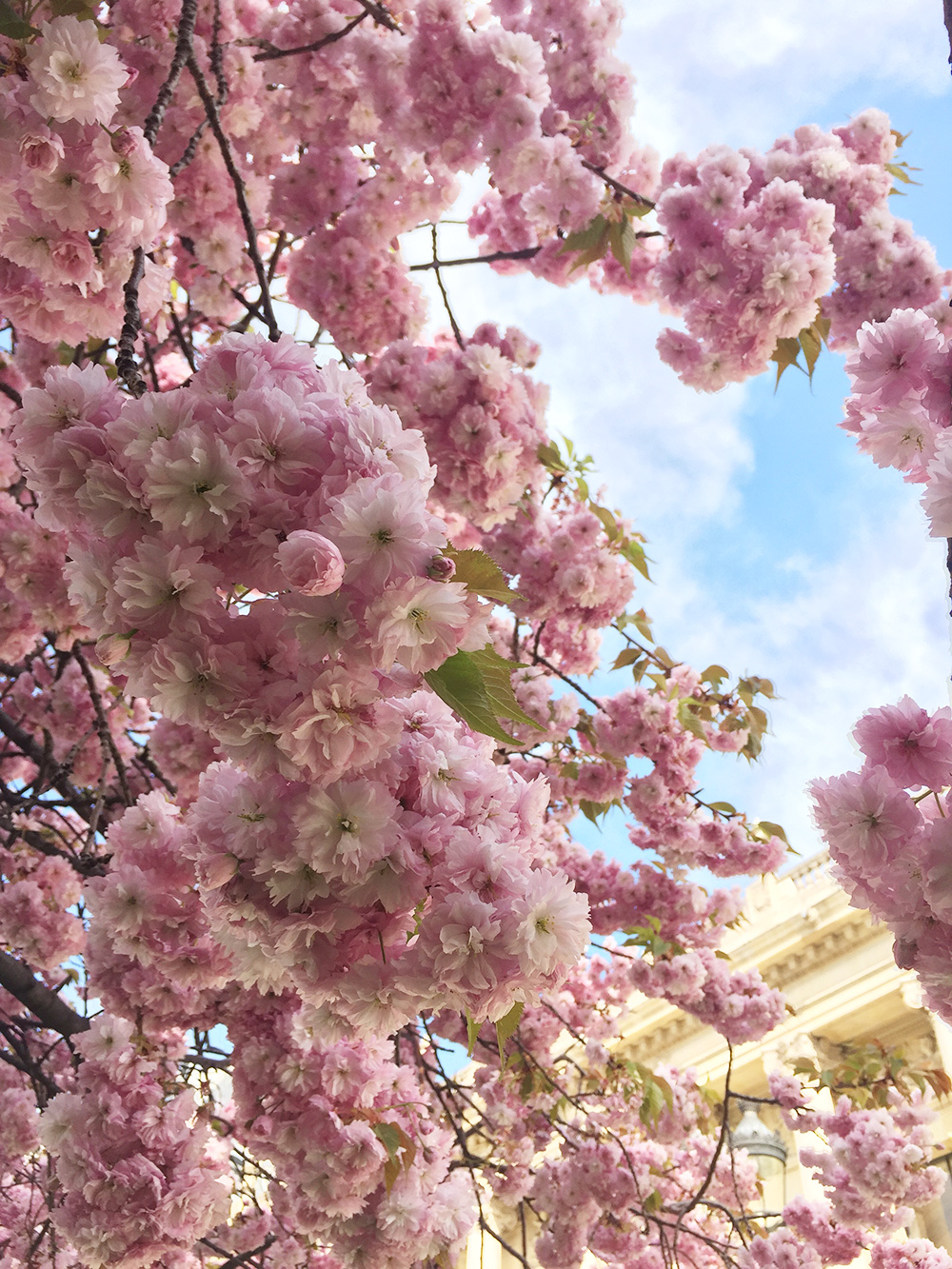 RosyCheeks-Blog-Paris-Cherry-Blossoms-2