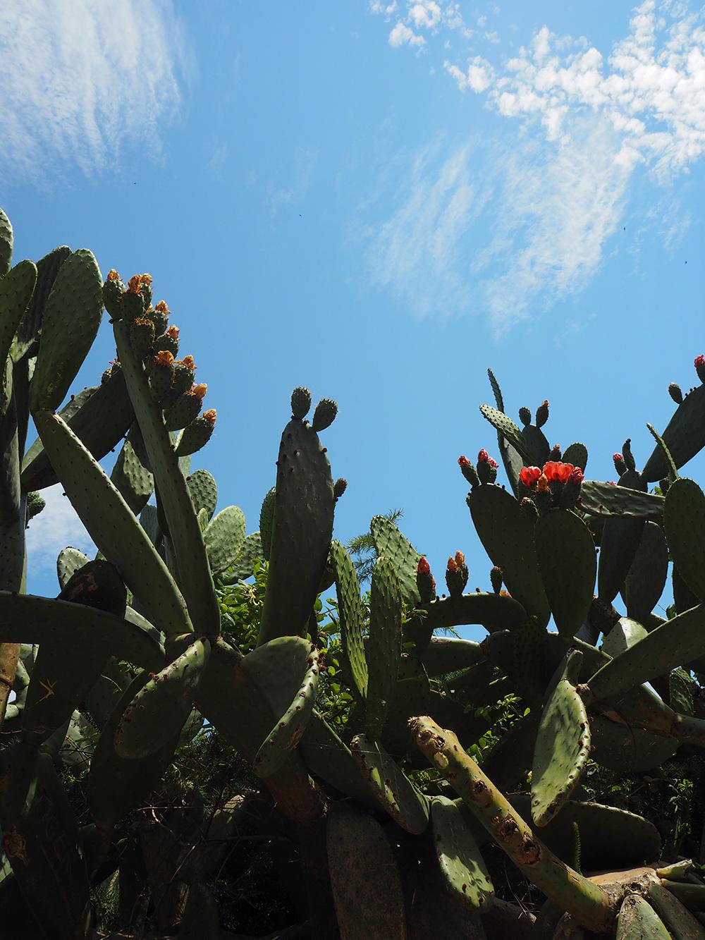 RosyCheeks-Cactus